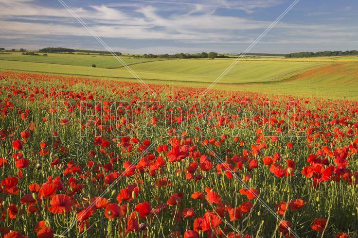 Sea of Poppies - Wall Mural & Photo Wallpaper - Photowall