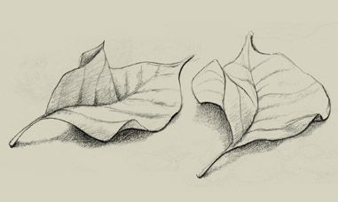 Pencil sketch of leaves