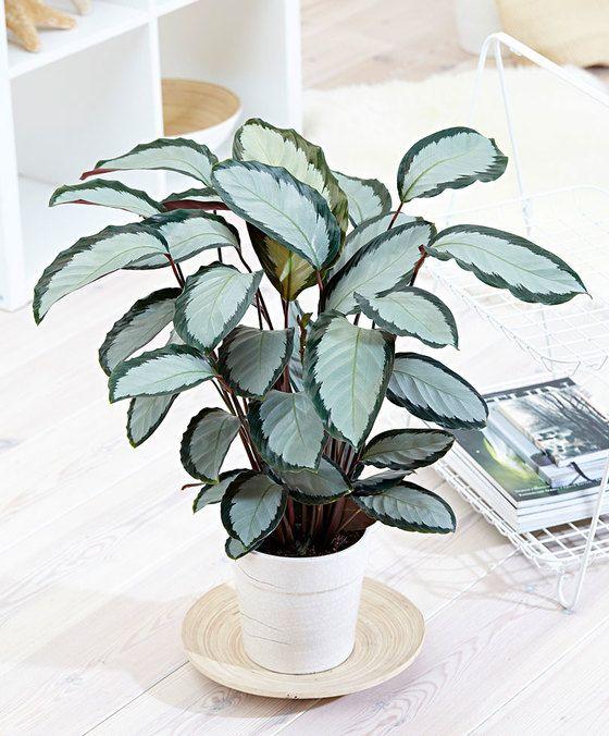 die besten 25 tropische zimmerpflanzen ideen auf. Black Bedroom Furniture Sets. Home Design Ideas