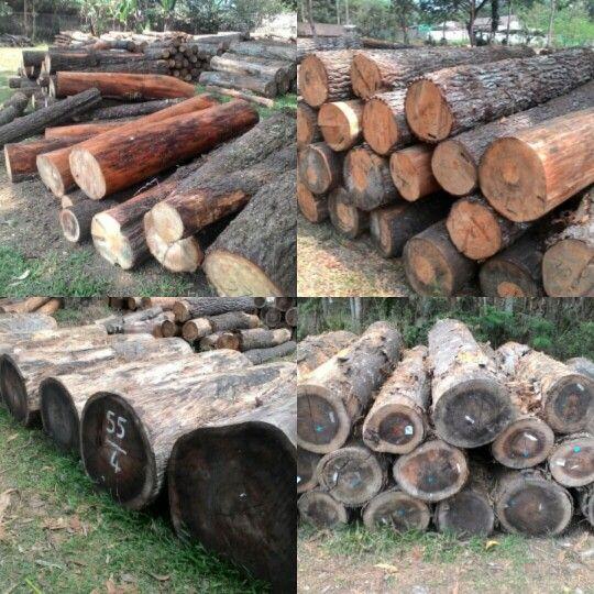 pinus wood