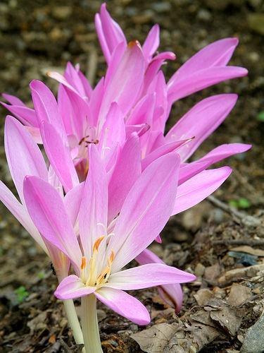 Nom Latin: Colchicum Automnale  Nom Vernaculaire: Colchique d'Automne ,Veilleuse , Tue-chien ,ail des prés, chenard, mort chien, tue-loup, vachette, safran bâtard ,False automn crocus , Showy colchicum, Naked Ladies , Meadow saffron  Le colchique d'automne est une  plante herbacée vivace à corme  C'est une plante assez basse, elle présente la particularité d'avoir deux apparences très différentes :  En automne seules les fleurs apparaissent, naissant d'un spathe tubuleux au niveau du sol…
