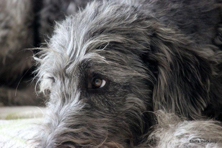 Der Artlaender Wolfspudel - artlaender-wolfspudels