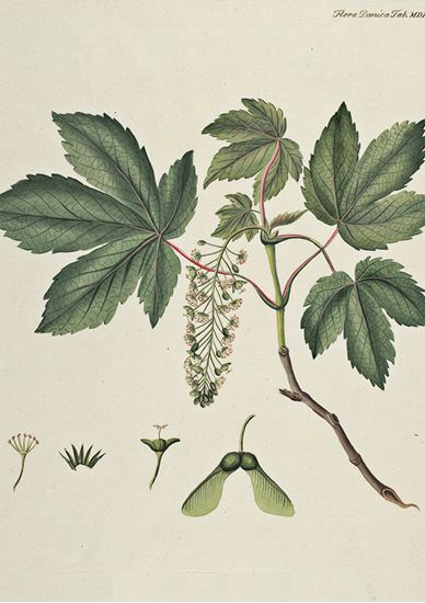 Acer Pseudoplatanus L Poster - Downloadable prints for home or office - Downloadable prints for home or office - #FloraDanicaPosters