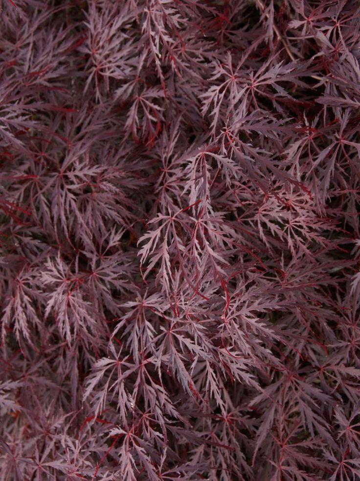 best 10 acer palmatum dissectum garnet ideas on pinterest acer dissectum acer atropurpureum. Black Bedroom Furniture Sets. Home Design Ideas