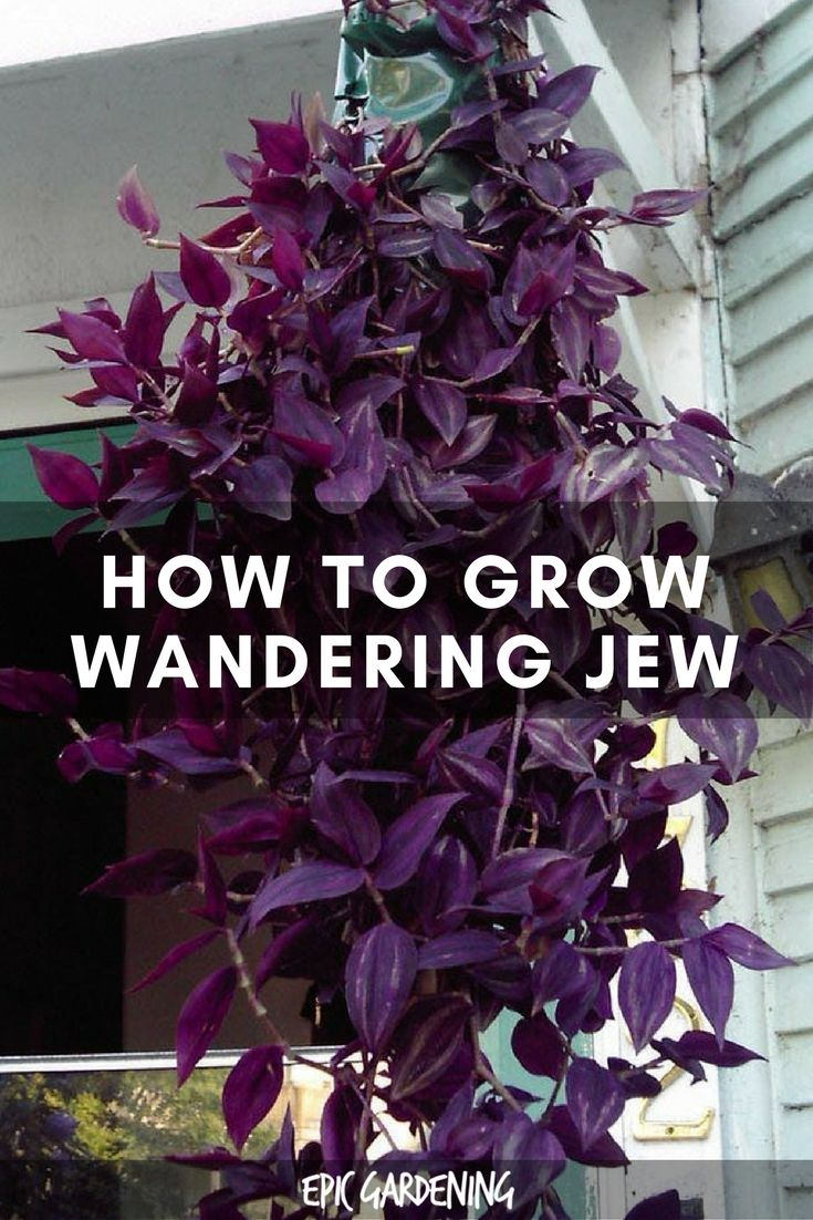 Best 25 wandering jew ideas on pinterest outdoor pots and planters planters shade and - Wandering jew care ...