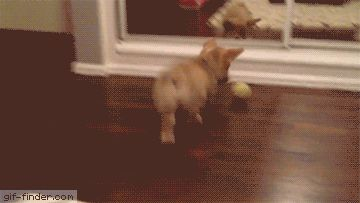 Corgi puppy sees self in mirror | Gif Finder – Find and Share funny animated gifs