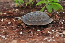 Furrowed wood turtle - Wikipedia