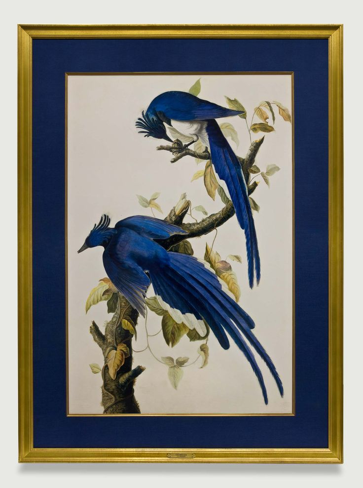 Houston Map Framed%0A Audubon Columbia Jays are featured in a handwrapped navy fabric mat and  gold frame