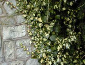 Evergreen Climbing Plants - Including Flowering evergreen climbers