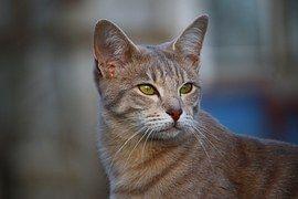 Kočka, Makrela, Kotě, Knír, Kočičí, Oči