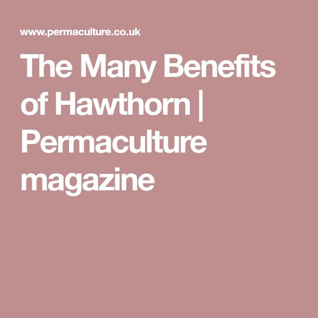 The Many Benefits of Hawthorn | Permaculture magazine