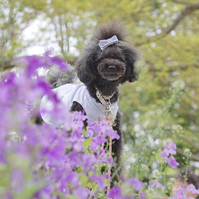 ・ 柔らかなpicが撮れたかなぁ💜 ・ #愛犬写真教室 ・ すごい人集りで写真撮れるかドキドキだったけれど、まずはムラサキハナナと💜 ・ ・ コメントお気遣いなく💕 ・ ・ #ムラサキハナ ナ #flower  #spring  #黒プー #黒プー関東  #toypoodle  #toypoodlelove  #toypoodleblack  #todayswanko  #east_dog_japan  #all_dog_japan  #カメラ初心者 #カメラ女子  #カメラ好きな人と繋がりたい  #ファインダー越しの私の世界  #エアリーフォト  #愛犬 #宝物 #家族 #昭和記念公園