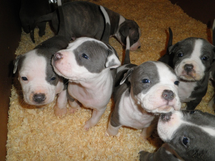 Just 4 puppies left! American Staffordshire Terrier #puppies #for #sale! $200 purebred #blue $nose $Pitbull babies.