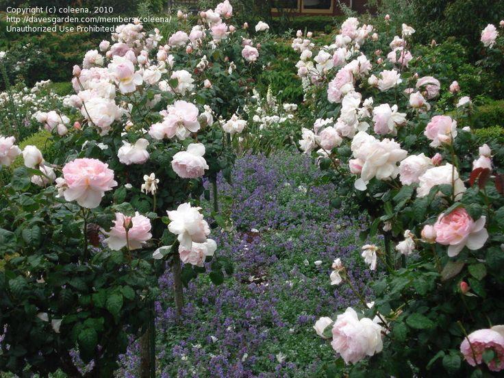 Sharifa Asma Rose Shade Tolerant Garden Ideas
