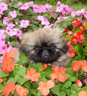 Best 25 Pekingese Puppies Ideas On Pinterest Pekingese