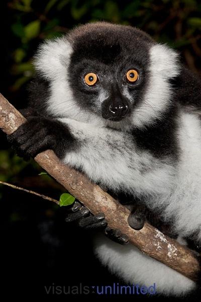 Madagascar 3 Lemur Song Black-and-white Ruffed...