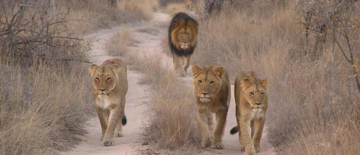 africas big predators <3: Gvi S Wildlife, South Africa, Africa Expedition, Africa Collect, Travel, Responsible Volunteering, Africas Big, Big Predators