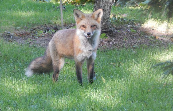 Renard; Fox; Zorro; Binatang