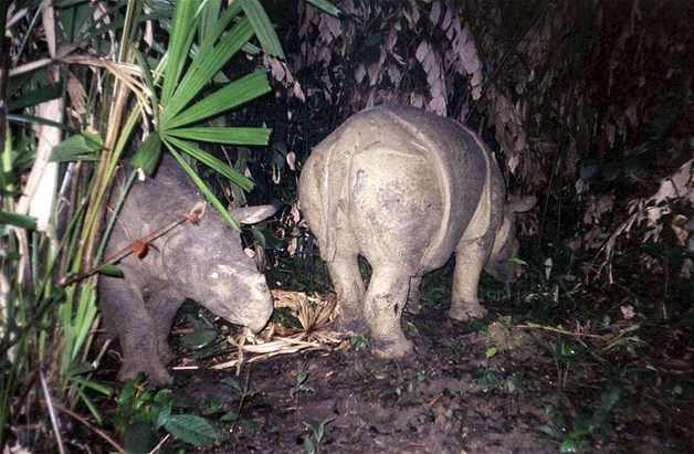Image: Handout file photo shows Javan rhinos walking though Indonesia's Ujung Kulon National Park after being released by WWF (© HO//Reuters)