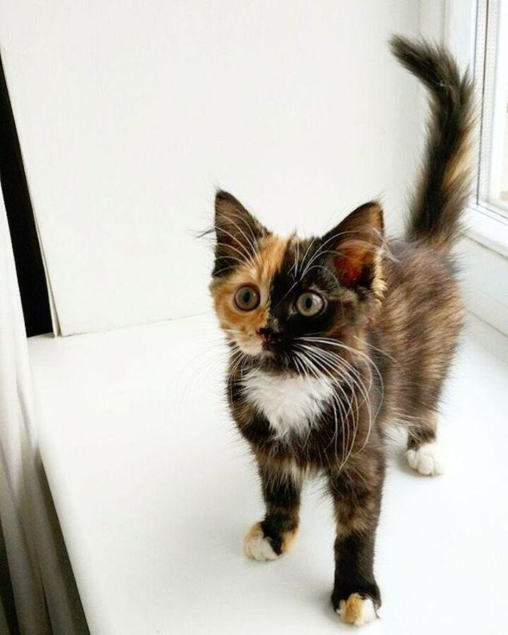 Yana dwulicowy kot chimeryczny