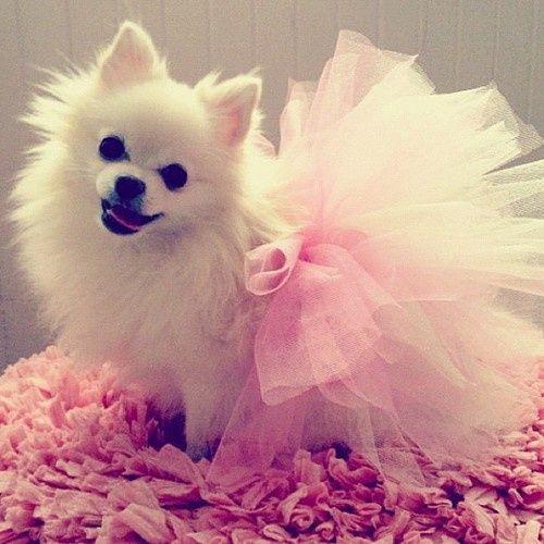 White Toy Pom In Pink Tutu!! <3 Awhhh!