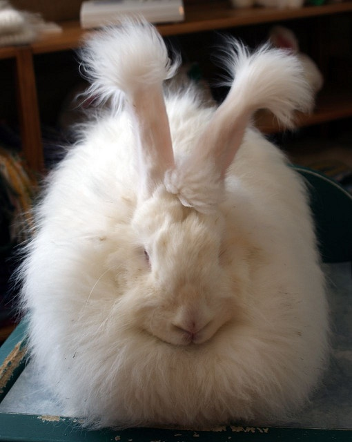 Angora Rabbit (Oryctolagus cuniculus)  Image by Chris Counsell - http://www.flickr.com/people/crispyking/