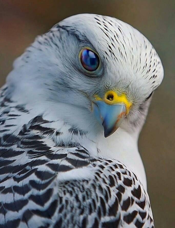 Beautiful falcon - Imgur