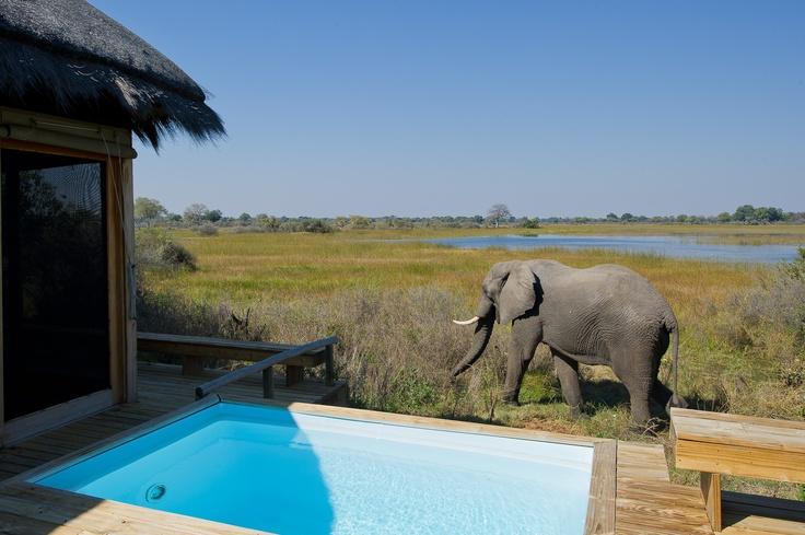 Always interesting visitors to the Vumbura Plains Camp pools. Okavango Delta, Botswana