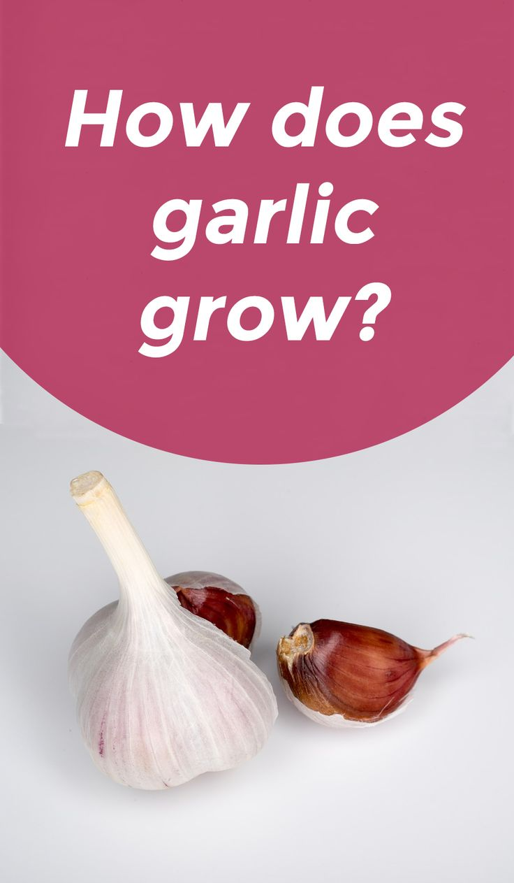 Have you ever wondered how garlic grows?