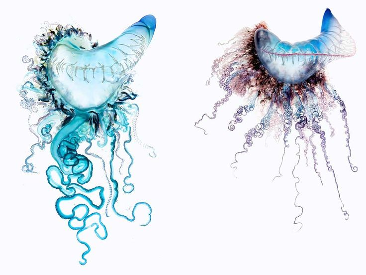 The Portuguese man-of-war is infamous for its painful sting, but one photographer finds the beauty inside this animal's dangerous embrace.