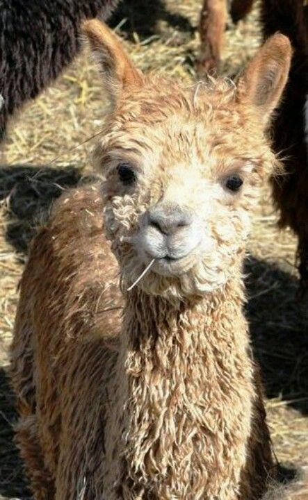 My suri alpacas
