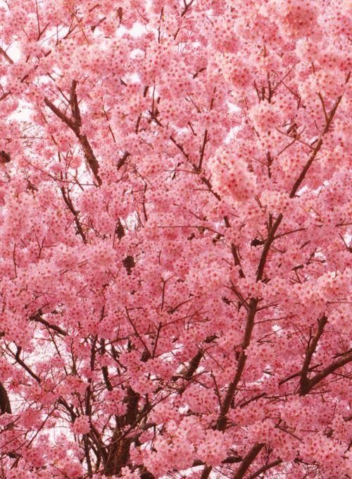 Cherry Blossom, blossom...