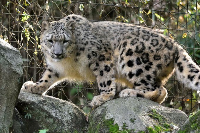 Snow Leopard Wallpapers Hd In 2020 Leopard Pictures Snow Leopard Pictures Animal Planet