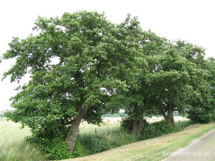 Alnus glutinosa -- Zwarte els --: informatie en foto's van de boomsoort zwarte els op Bomenbieb.nl