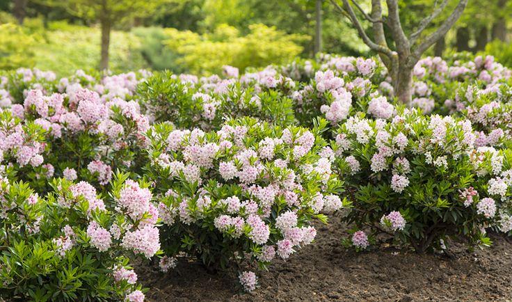 Bloombux bietet flower & form in einer Pflanze. Der Rhododendron micranthum Bloombux® von INKARHO ist sehr schnittverträglich, winterhart und wächst auf allen humosen Böden. Der immergrüne Buchsbaumersatz blüht jedes Jahr im Juni zartrosa.