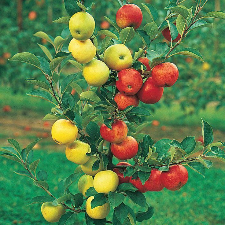 Как правильно привить на одну яблоню несколько сортов (советы агронома)