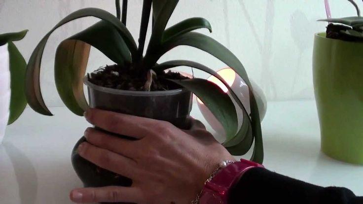 Ho una passione per le orchidee e ogni volta che sbocciano nuovi fiori è una grande soddisfazione. Non sono un'esperta del settore ma ho fatto un corso qualc...