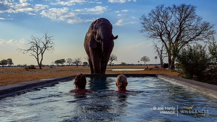 This big bull elephant came to drink at the pool while these Linkwasha guests were swimming! He drank for a couple of minutes, leaving the guests (and staff) with goose bumps and another magic memory of Hwange.