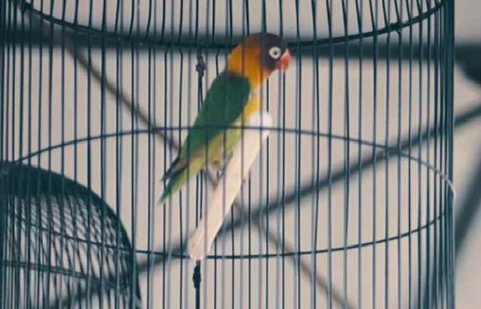 Pin Oleh Informasi Komunitas Kicau Mani Di Perawatan Burung Di 2020 Burung