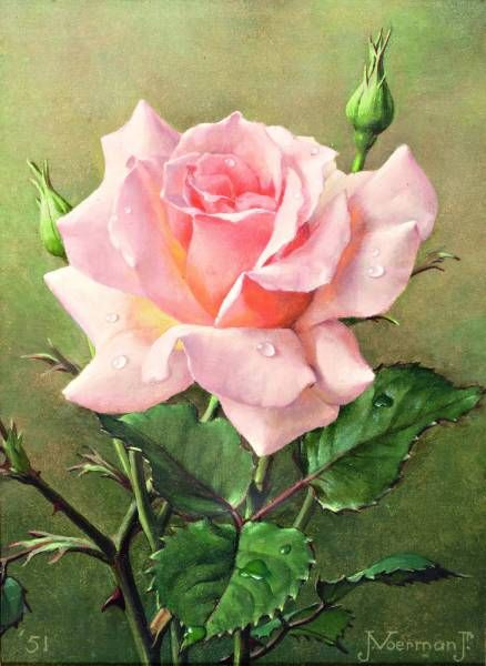 Jan Voerman jr. (Dutch, 1890-1976) - Pink Rose, gouache on paper, 18 x 13 cm. 1951.