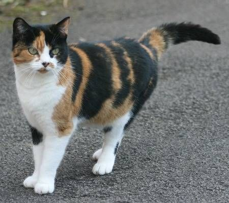 """http://cats.about.com/od/coatcolorpatternstypes/p/profile-calico-cat.htm  Calico Cats Have Personality-Plus: Calico cats  share that personality trait of tortoiseshell cats commonly described as """"tortitude."""" They are sassy, spunky, and very independent. On the other hand, calicoes are sweet, loving, and loyal cats. If you hunger for unconditional love, a calico cat will willingly and enthusiastically fulfill that need. Calicoes are almost all female, and the rare male is always sterile"""
