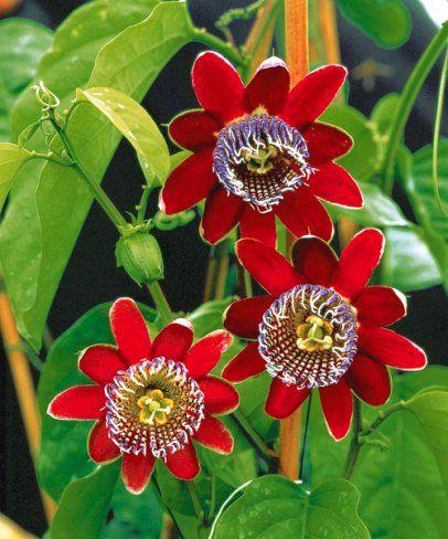 Obří mučenka Passiflora alata. Každý květ je jedinečný! Tato mučenka miluje slunce. Za pravidelnou zálivku a hnojení se Vám odmění až 3 m dlouhými výhony a obřími, tmavě červenými exotickými květy.