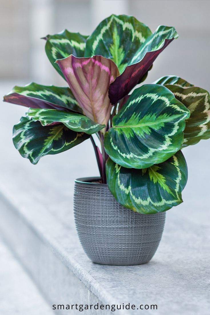 How To Stop Your Calathea Leaves Curling Calathea Care Can Be Tricky If You Don T Provide Just The Right Condition Calathea Plant Plant Care Houseplant Plants