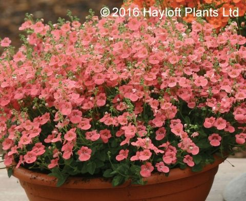 Buy Diascia Little Drifter Online | Hayloft Plants
