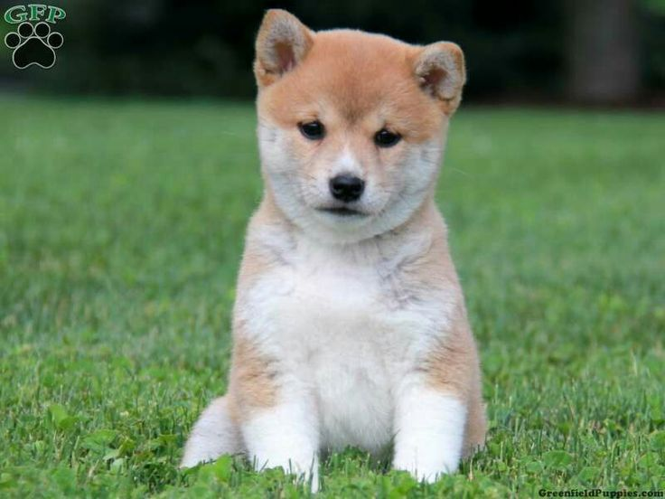 Springfeild Dog For Sale