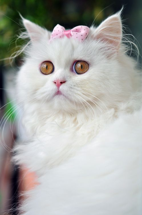 kitty♥: White Persian Cat, The Aristocats, Pretty Pink, Cat Meow, White Cats, Pink Bows, Amber Eye, Sweet Girls, Animal