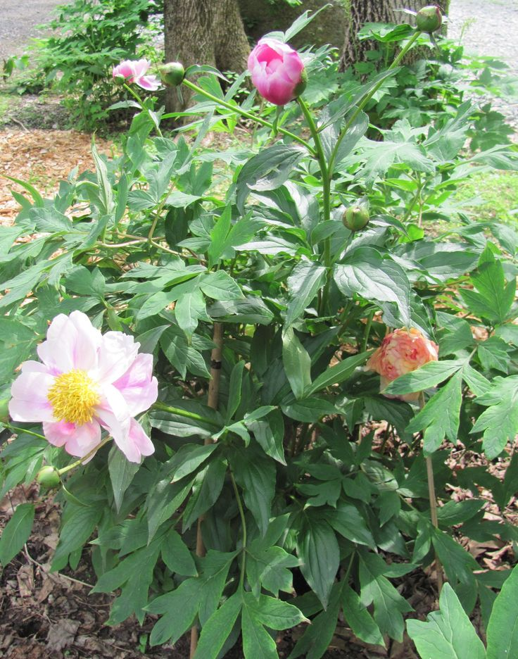 Tree Peony Care and Reference | tons of info