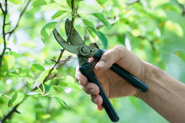 Nunca se esqueça de esterilizar seus equipamentos de poda, do contrário, você pode transmitir fungos entre as suas plantas.