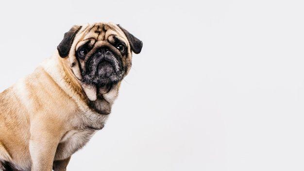 Dog Vectors Photos And Psd Files Free Download Perros Fondo Blanco Pantalla De Perro