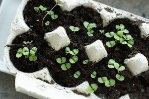 Zaaien in een eierdoos. Kan daarna zo de (moes)tuin in, de doos vergaat vanzelf.